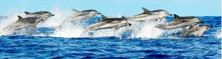 Скинали 'Стая дельфинов'