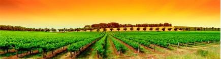 Скинали 'Виноградник в жаркий день'