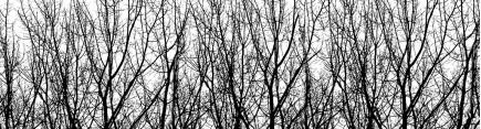 Ветви берез