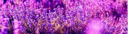Скинали 'Цветы лаванды'