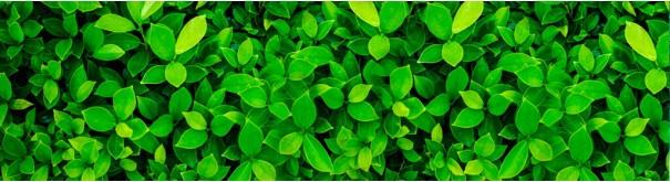 Скинали 'Зеленые листья лавра'
