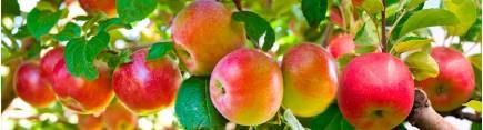 Скинали 'Яблоки на ветке'