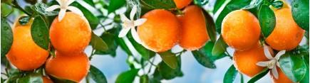 Скинали 'Спелые апельсины'
