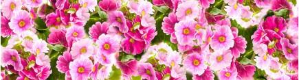 Скинали 'Цветы примулы'