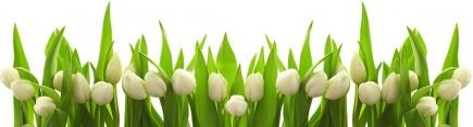 Скинали 'Белые тюльпаны'