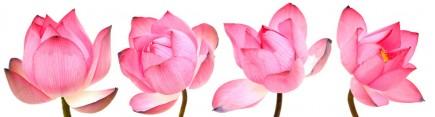 Скинали 'Розовые лотосы'
