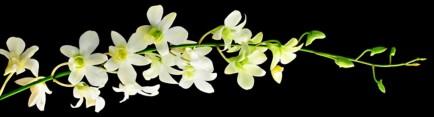 Ветвь белоснежной орхидеи