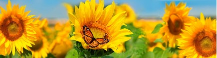 Скинали 'Бабочка в подсолухах'