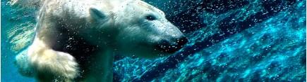Скинали 'Белый медведь'
