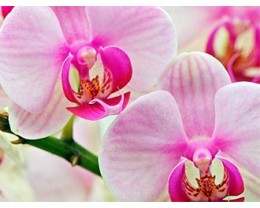 Скинали Орхидея