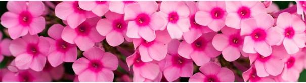 Скинали 'Розовые флоксы'