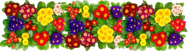 Скинали 'Фон с цветами примулы'